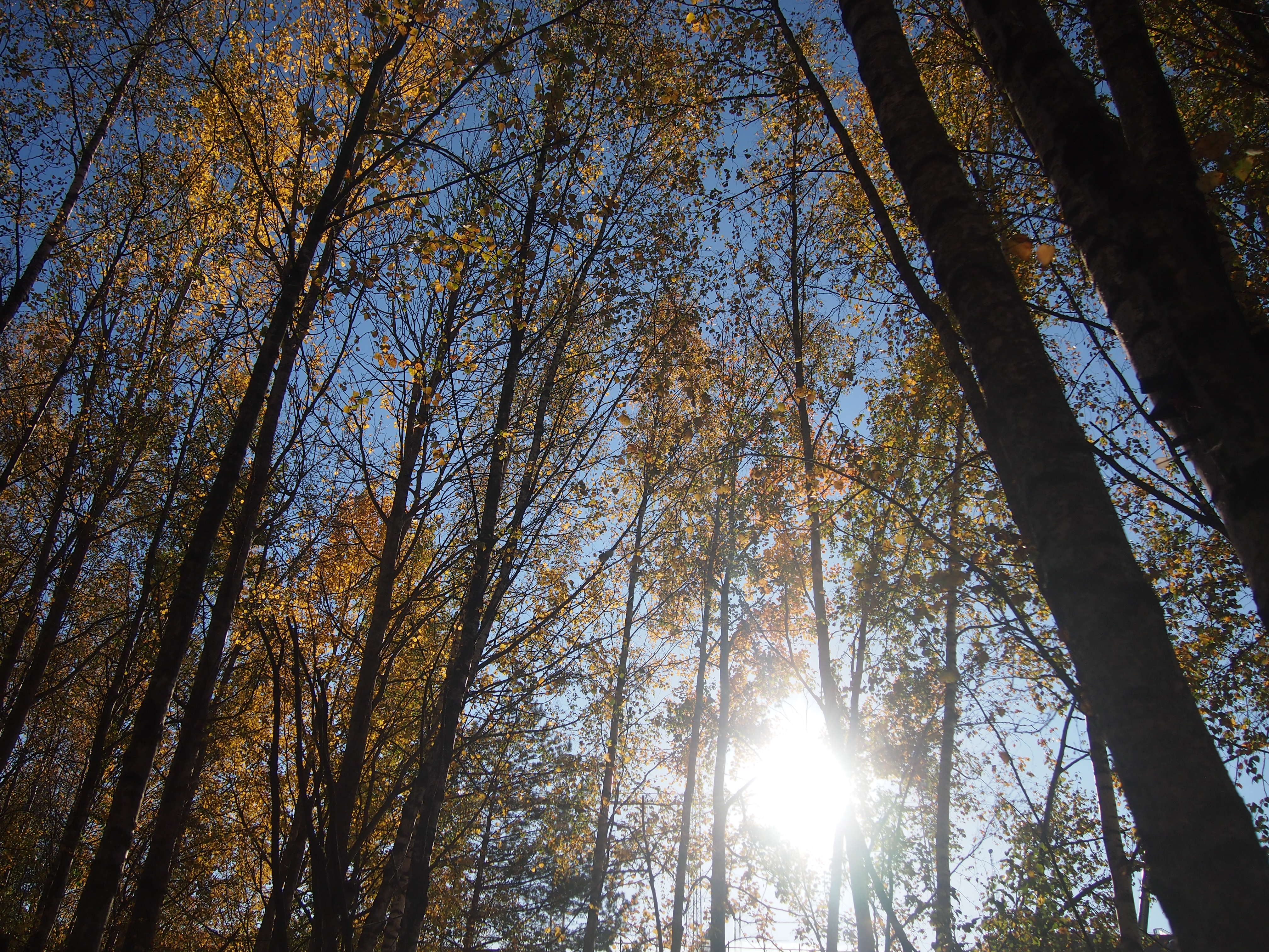 aurinko puiden takana