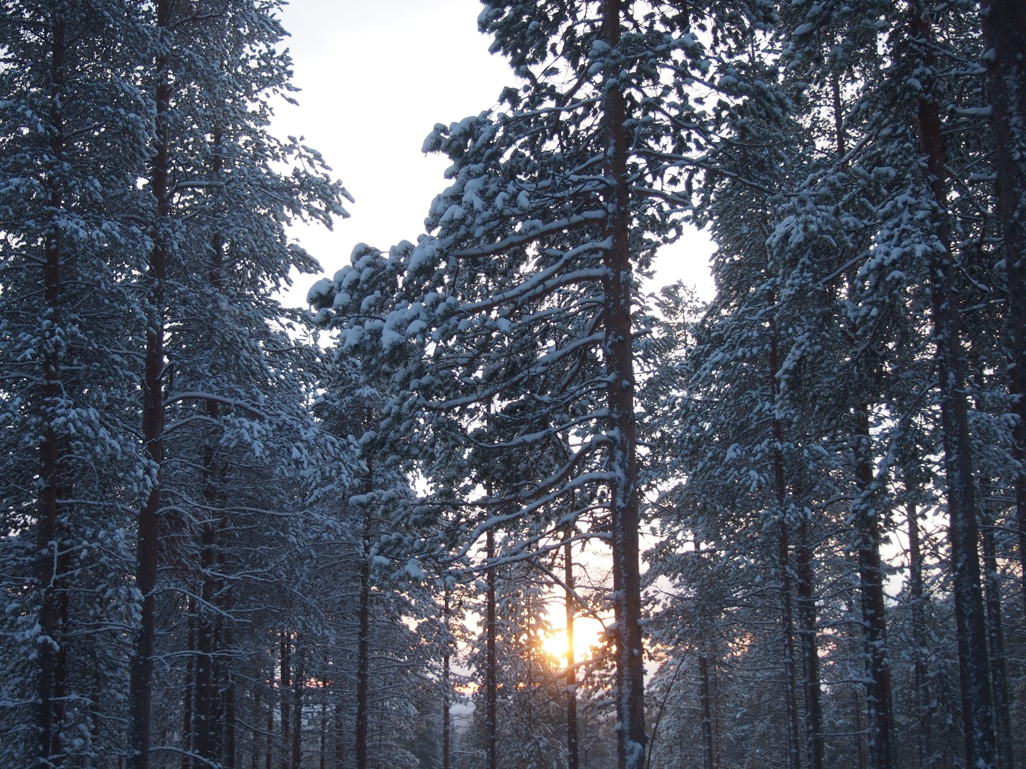 aurinko puiden välissä